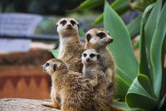 Meerkat Group Huddled Together 5 Royalty Free Stock Photo