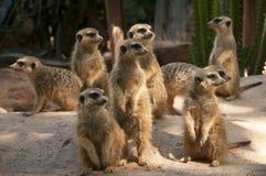 Meerkat. A group of meerkats foraging stock photo