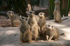 Meerkat. A group of meerkats foraging stock image