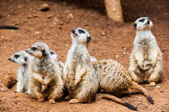Meerkat. A group of meerkats watching for predators Stock Images