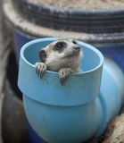meerkat grupowy portret Zdjęcia Stock