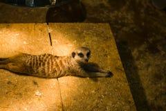 meerkat guarantor under artificial light stock images