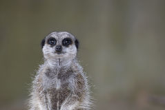 Meerkat on guard. A meerkat on guard duty stock photography