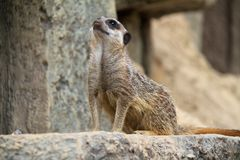 Meerkat Guard Royalty Free Stock Images