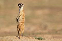 Meerkat on guard. Alert meerkat (Suricata suricatta) standing on guard, Kalahari desert, South Africa Royalty Free Stock Photo