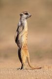 Meerkat on guard. Alert meerkat (Suricata suricatta) standing on guard, Kalahari desert, South Africa Stock Photography