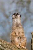 Meerkat on guard Royalty Free Stock Photos