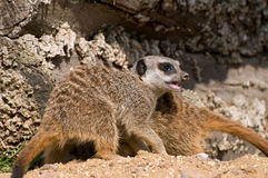 Meerkat on guard Royalty Free Stock Image