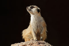 Meerkat on guard Royalty Free Stock Image