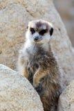 Meerkat on guard Stock Images