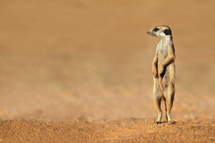 Meerkat on guard. Alert meerkat (Suricata suricatta) standing on guard, Kalahari desert, South Africa Royalty Free Stock Photography
