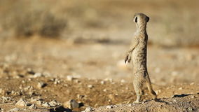 Meerkat on guard stock footage