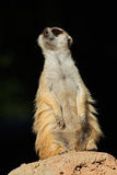 Meerkat on guard Royalty Free Stock Photos