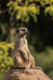 meerkat on guard Royalty Free Stock Images