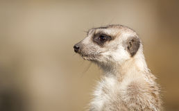 Meerkat on guard, detail portrait. Royalty Free Stock Photography