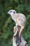 Meerkat on guard duty Stock Photos