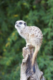Meerkat on guard duty Royalty Free Stock Photos