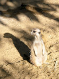 Meerkat on Guard duty Royalty Free Stock Photography