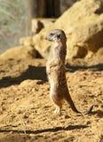 Meerkat on Guard duty Royalty Free Stock Image