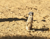 Meerkat on Guard duty Royalty Free Stock Photo