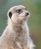 Meerkat on Guard duty Stock Photo