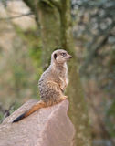 Meerkat on Guard duty Stock Photos