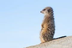 Meerkat on guard duty Royalty Free Stock Photo