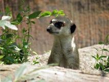 Meerkat guard head. Close up in natural enviroment stock image