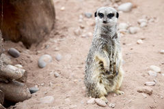 Meerkat on Guard Stock Image