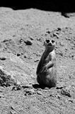 Meerkat on guard Stock Photos