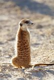 Meerkat on guard - South Africa Stock Photography