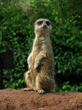 Meerkat on guard Royalty Free Stock Photography