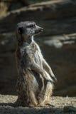 Meerkat On Guard Stock Photos
