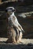 Meerkat On Guard Royalty Free Stock Photo
