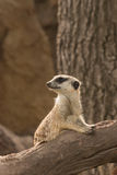 Meerkat on guard Stock Photo