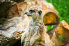 Meerkat on guard 8. Meerkat on guard at the zoo stock images