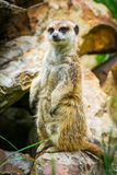 Meerkat on guard 6. Meerkat on guard at the zoo Royalty Free Stock Image