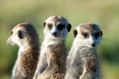 Meerkats in Africa, three cute meerkats guarding in natural habitat, Botswana, Africa