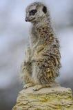 Meerkat guarding. Meerkat standing guard an  full body shot Stock Image