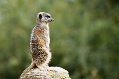 Meerkat guarding the territory on the rock Stock Images