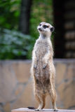 Meerkat guarding the territory Stock Photos