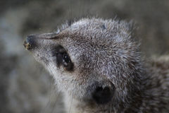 Meerkat haed Royalty Free Stock Images