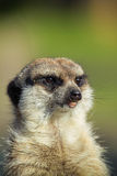 Meerkat-Haltung Lizenzfreies Stockbild