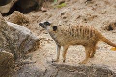 Meerkat har ett litet kroppformat arkivbilder