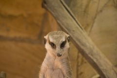 Meerkat head in sawdust stock image