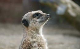 Meerkat headshot obrazy royalty free