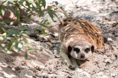 Meerkat hidden under the tree on a sand, looking straight, at the zoological park stock photo