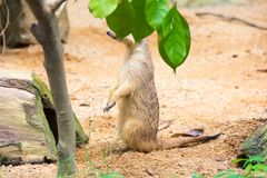 A meerkat hiding from behind the leaves. Male meerkats are responsible for sentry duty, taking turns to keep watch while the others forage. a meerkat standing Royalty Free Stock Image