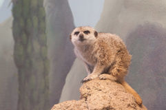Meerkat on Hill. At Zoo Boise in Idaho Royalty Free Stock Photo