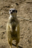 Meerkat on hind legs Stock Image